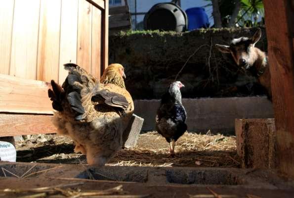 півень і козел відбили курку у хижака