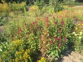 У київському ботанічному саду розцвіли айстри