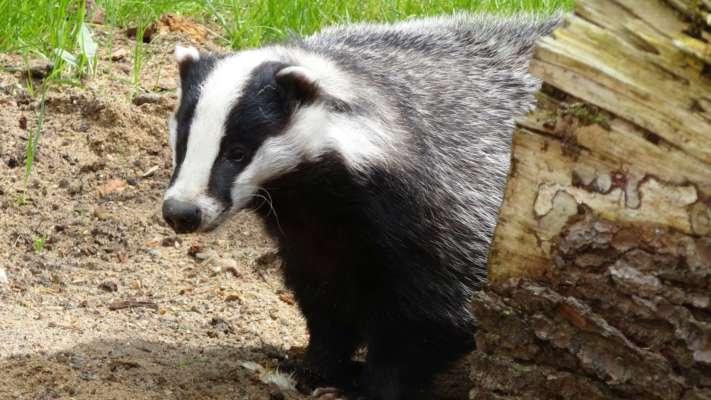 в Британії дикі тварини розривають могили