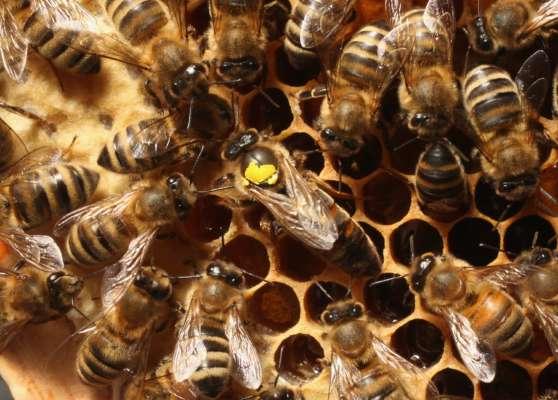 У Рівненській області чоловік помер від укусів бджіл