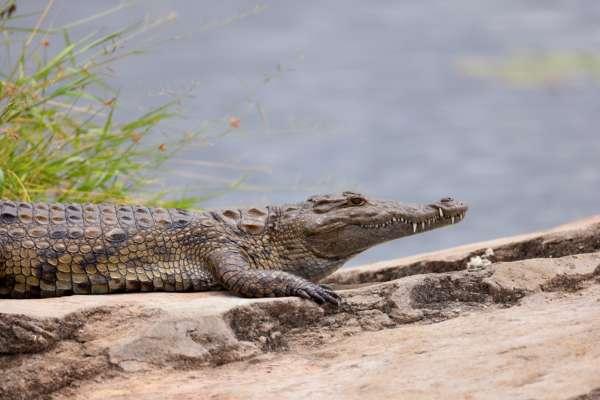 У США 74-річна жінка вирвала з пащі крокодила свою собаку