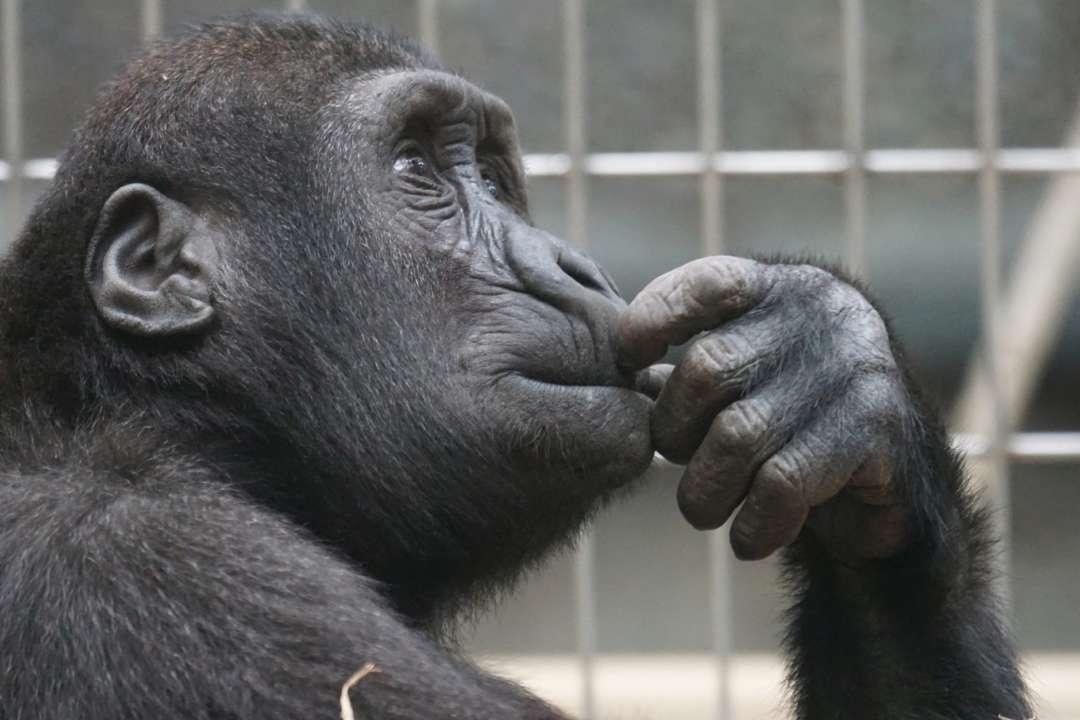 Відеодзвінки для мавп в зоопарках