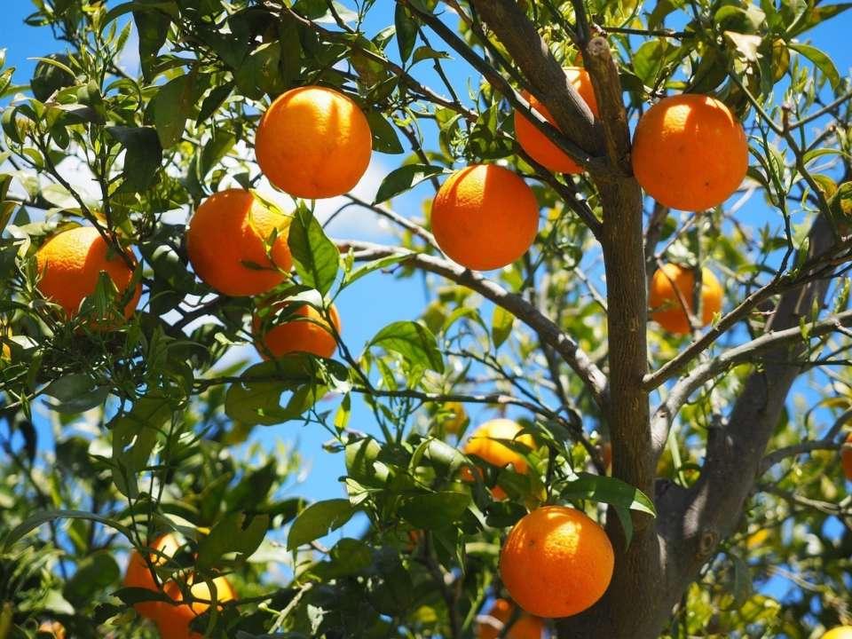 Електроенергія з апельсинів: в Іспанії готують новий проект
