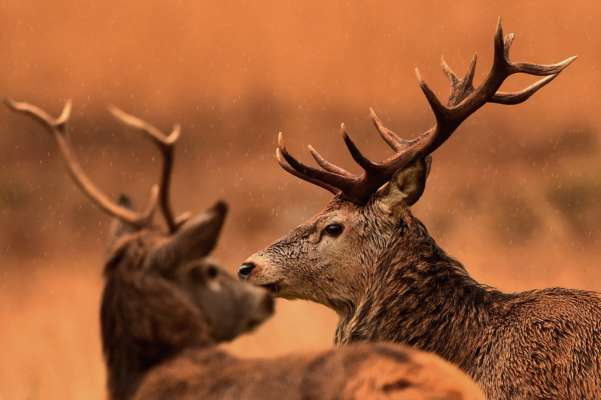 Незграбна бійка двох оленів насмішила Мережу