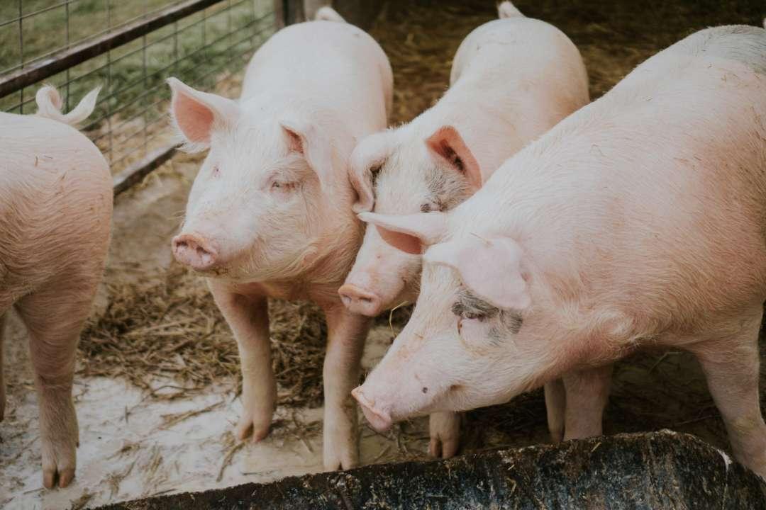Из-за вспышки африканской чумы на Буковине убьют более 20 тысяч свиней