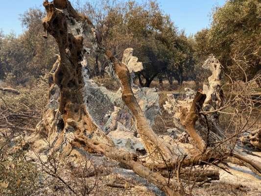 Лісові пожежі в Греції знищили унікальне дерево віком 2500 років