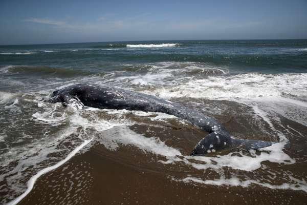 В Японии на пляж выбросило тело огромного кита