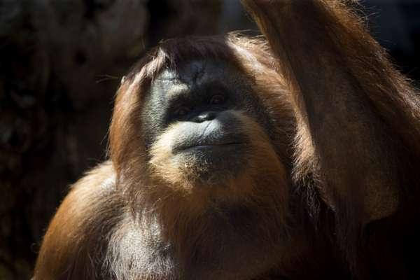 Модний мавп'ячий лук: орангутанг приміряла окуляри, які загубила відвідувачка зоопарку. Відео