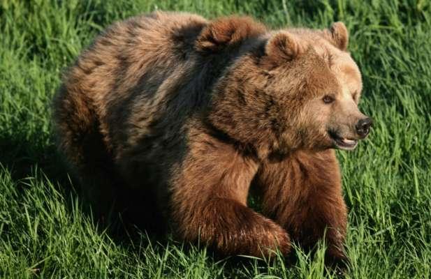 В Японії ведмідь переполошив військову авіабазу