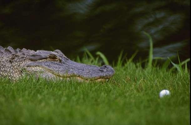 У США чоловік викрав крокодила, щоб з ним побитися