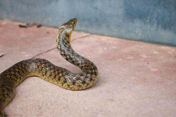 У США до жінки в будинок пробралися 90 отруйних змій