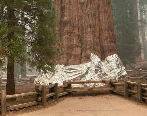 У США найбільші дерева у світі кутають у ковдри, щоб врятувати їх від лісових пожеж