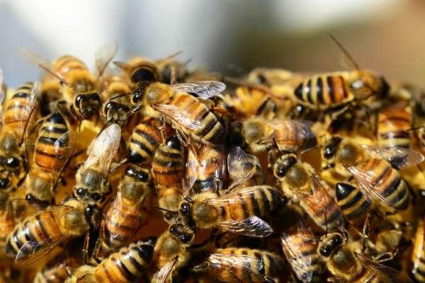 Агресивні бджоли понад 300 разів вкусили американця: чоловік помер