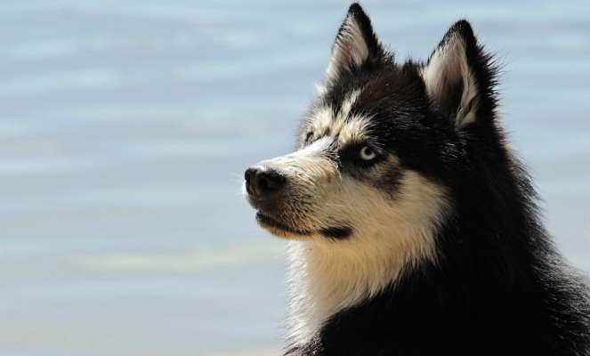 В Калифорнии выбрали лучшего собаку-серфингиста