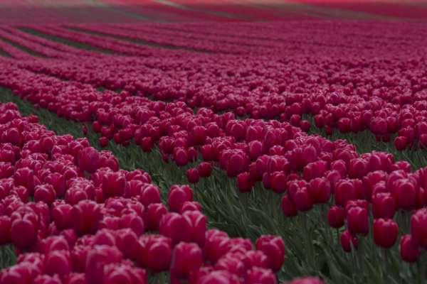 в хмельницької області розквітло квіткове поле